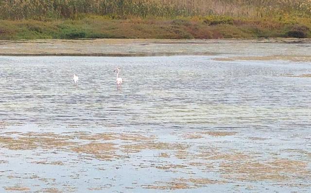 Flamencos en la laguna de La Mata - Guardamar - Torrevieja en bici